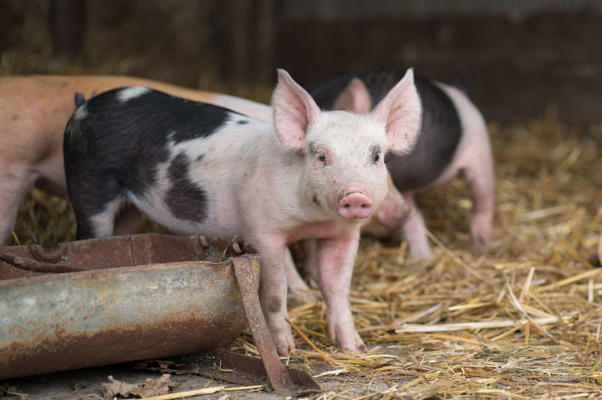 Animal Animal Themes Baby Animals Baby Pig Day Domestic Domestic Animals Farm Farm Animal Close Up Livestock No People Pig Piglet Pink Color