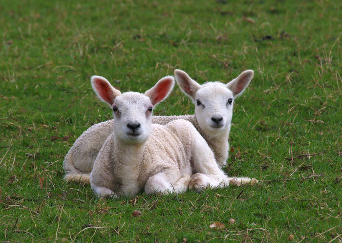 Spring Lambs Animal Animal Themes Day Domestic Animals Field Grass Green Color Group Of Animals Herbivorous Land Livestock Looking At Camera Mammal Nature No People Outdoors Plant Portrait Sheep Two Animals Vertebrate Young Animal