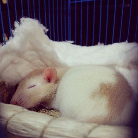 Sleepy Elsie FancyRat