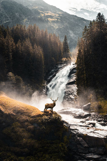 Scenic view of a deer in front of a waterfall in forest.