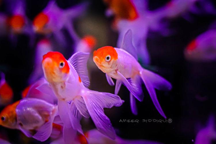 gloss Fish Goldfish Orangehead