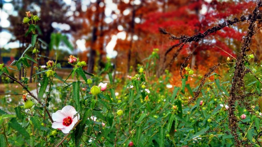Fall Flower -- Autumn Autumn🍁🍁🍁 Autumn Colors Autumn Leaves Changing Leaves HDR Hdr_Collection Hdr Edit Macro Selective Focus Focus On Foreground Nature Beauty In Nature Growth Flower Outdoors Flowers Freshness Fragility Day Close-up Tree Field No People Orange Color