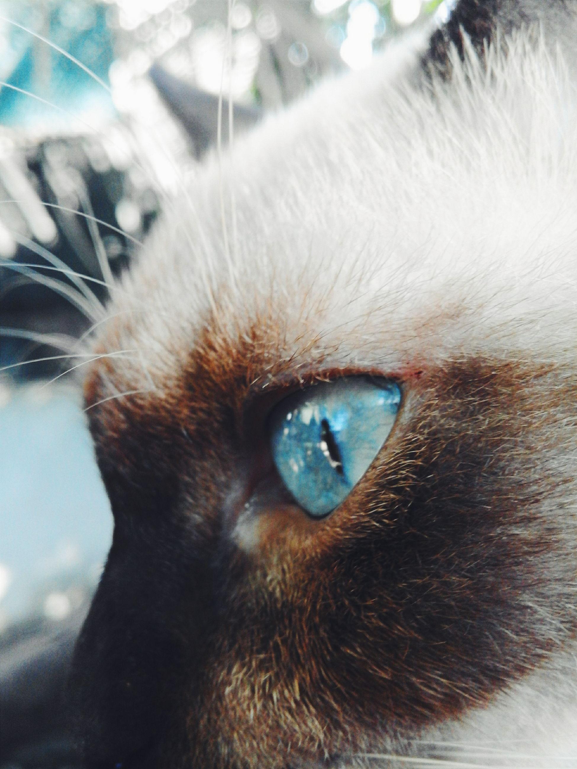 one animal, domestic animals, pets, domestic cat, animal themes, mammal, feline, close-up, no people, indoors, animal eye, yellow eyes, day