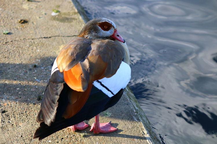 Close-Up Of Mandarin Duck At Lakeshore