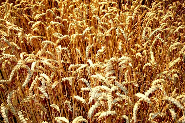Cereal Corn Field Grain Field