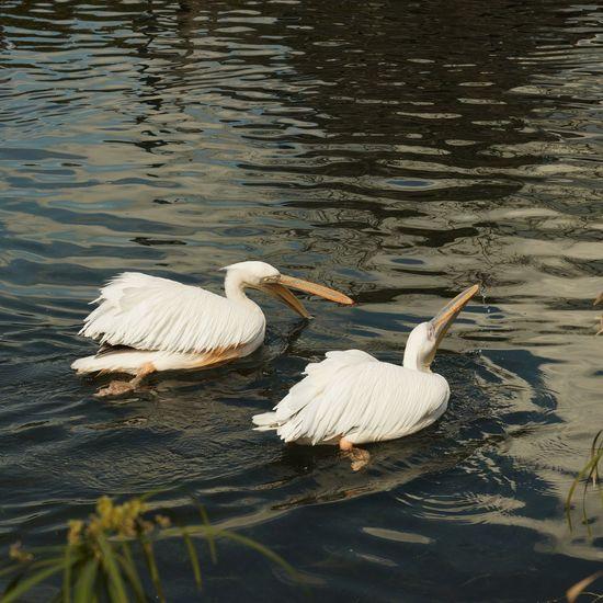 Swans swimming on lake