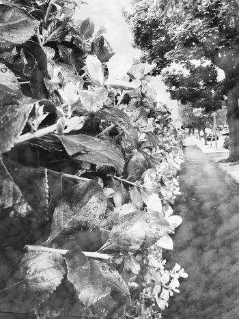Nature Tree Day Outdoors No People Road Growth Plant Beauty In Nature Water Flower Raindrops Urban Raindropsonleaves Double Exposure Blackandwhite Streetphotography