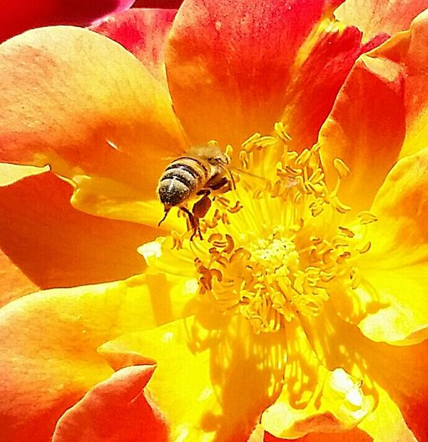 Love My Bees Macro_bugs Macro Macro Photography Just Having Fun With My Bees! Eye4photography Makro The Pollenator Pollenating Spring2016 Save The Bees Bees Photography Jacob Rose Busy Bee Californiathroughmylens Eye Em Sharp Focus Bee And Flower Bugslife Coming In For A Landing