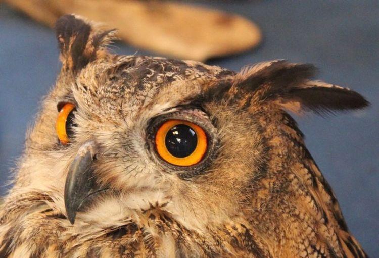 Owl Close-up One Animal Animal Animal Themes Animal Body Part Bird Animal Wildlife
