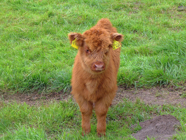 Animal Hair Animal Themes Close-up Domestic Animals Field Focus On Foreground Grass Grassy Highland Cattle Hochlandrinder Landscape Mammal Portrait Young Animal