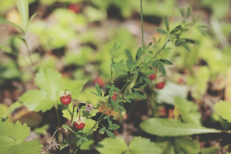 Berries Green Color Siberia Nature Green Grass Sweet Moments Forest Photography June Showcase Red Color Strawberries Wildlife & Nature Pleasure