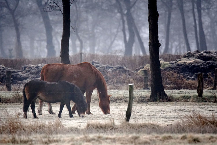 Two horses grazing on a wintery pasture Backlight Frost Grass Grazing Hazy Days Nature Pasture Pony Silhouette Tree Winter Wintertime Fence Fog Forest Frosty Frosty Mornings Grassland Haze Hazy  Horse Meadow Peaceful Snow Winter Morning