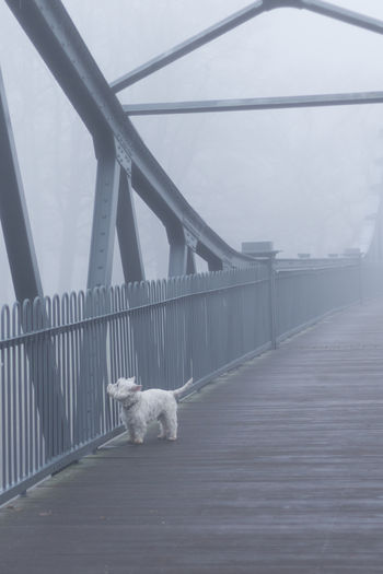 White Dog White Color Pet Carlisle Architecture Bridge - Man Made Structure Cold Curious Day Dog Fog Foggy Lost Nature No People One Animal Outdoors Seasonal Winter Westie Terrier Cumbria Shades Of Winter