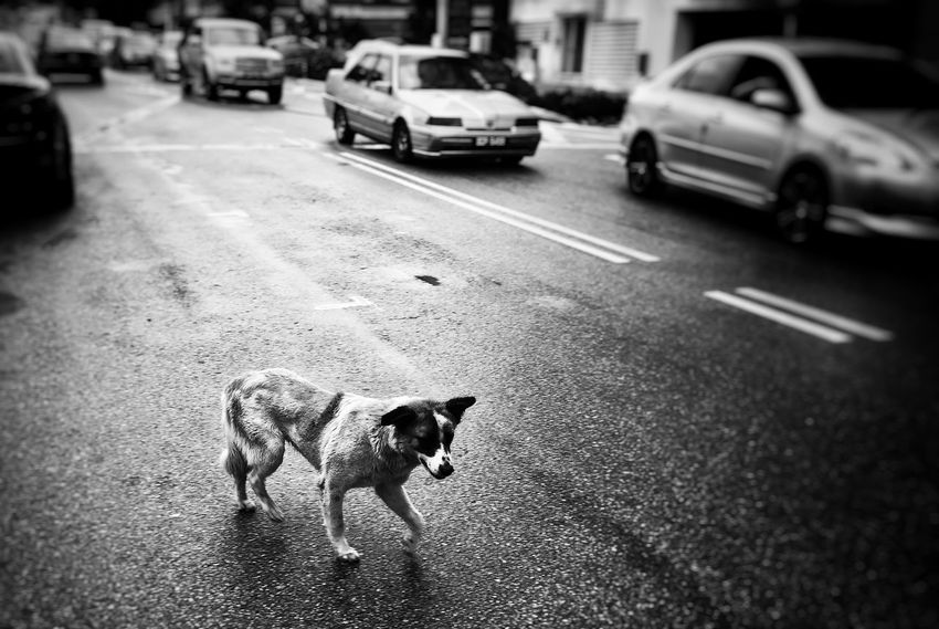 Dog on the road. On The Road Streetphotography Dog Pets Animals Wildlife Cars Blackandwhite Black And White Bokeh