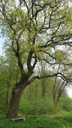 Alte Eiche am kleinen Fallstein Nature Beautiful Day Eiche Frisches Grün Outdoor Photography Waldspaziergang Tree Branch Sky Green Color Close-up