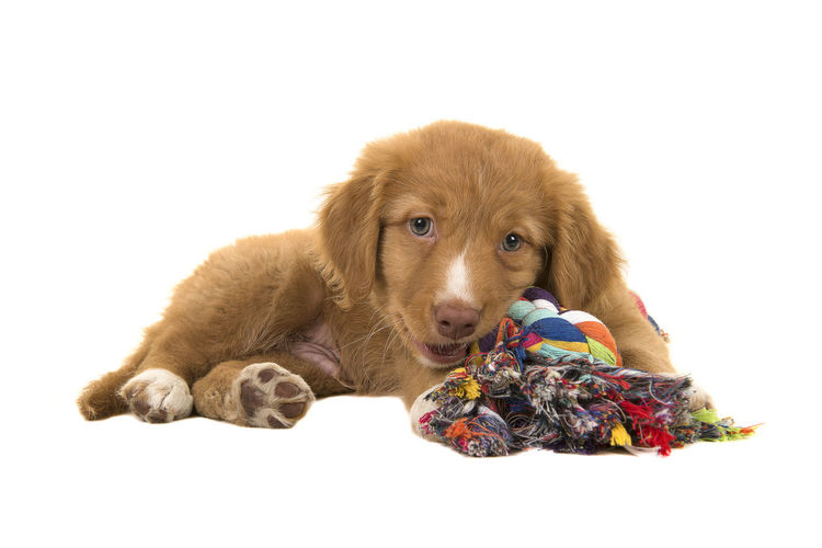 Cute nova scotia duck tolling retriever puppy lying down seen from the side facing the camera while chewing on a multicolored woven rope dog toy Animal Themes Biting Canine Chewing Cute Dog Dog Toy Domestic Animals Looking At Camera Lying Down No People Nova Scotia Duck Tolling Retriever Pets Puppy Studio Shot Toller Toy White Background Young Animal