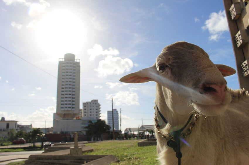 Vedado - Animal Portrait #cuba #sheep Built Structure Close-up EyeEmNewHere Mammal No People One Animal Outdoors Sky Sunlight The Portraitist - 2017 EyeEm Awards