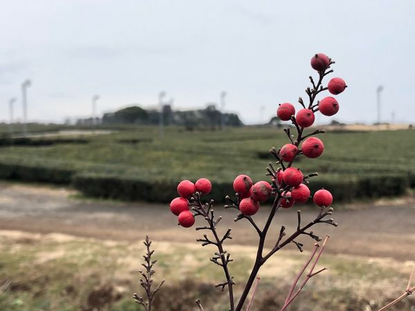 Round shaped Goji berry on Jeju island, Republic of Korea Island Jeju Berry Goji EyeEm Selects Fruit Focus On Foreground Growth Red Nature Field No People Outdoors Plant Day Beauty In Nature Food And Drink Tree Freshness Landscape Close-up Food