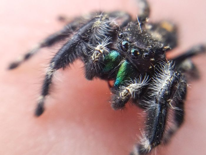 EyeEm Selects Jumping Spider Spider Spider Macro Spider On Hand Close-up