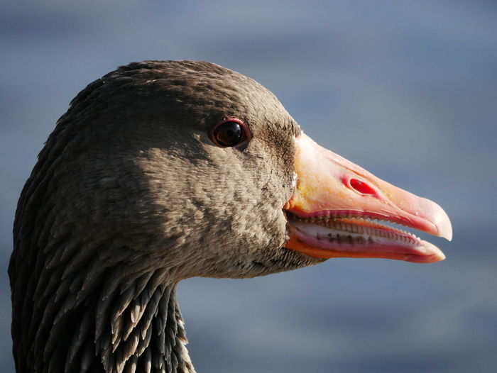 Close-up of a goose