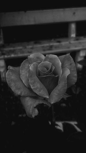Flor Preta