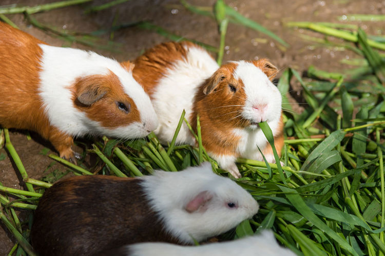 High angle view of rabbits eating grass
