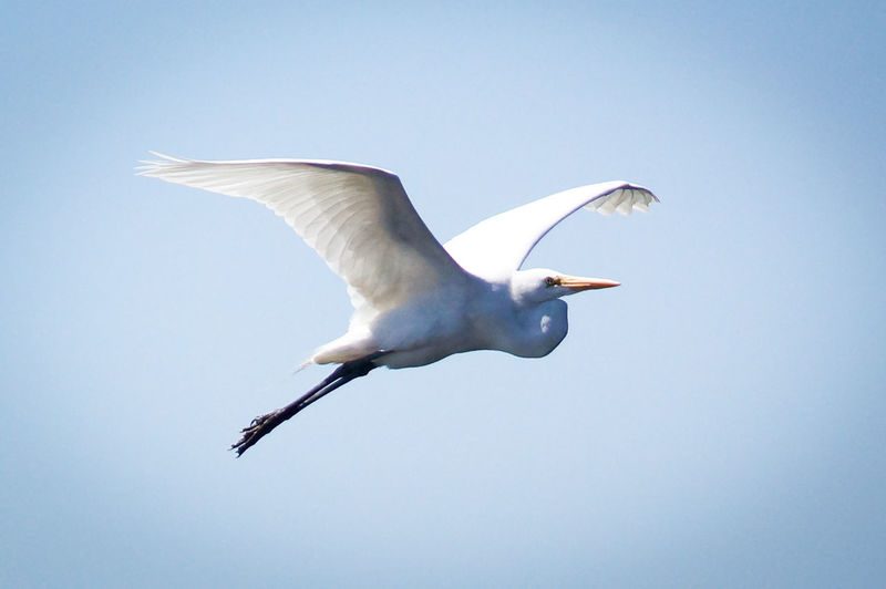 Close-up of great egret flying in sky