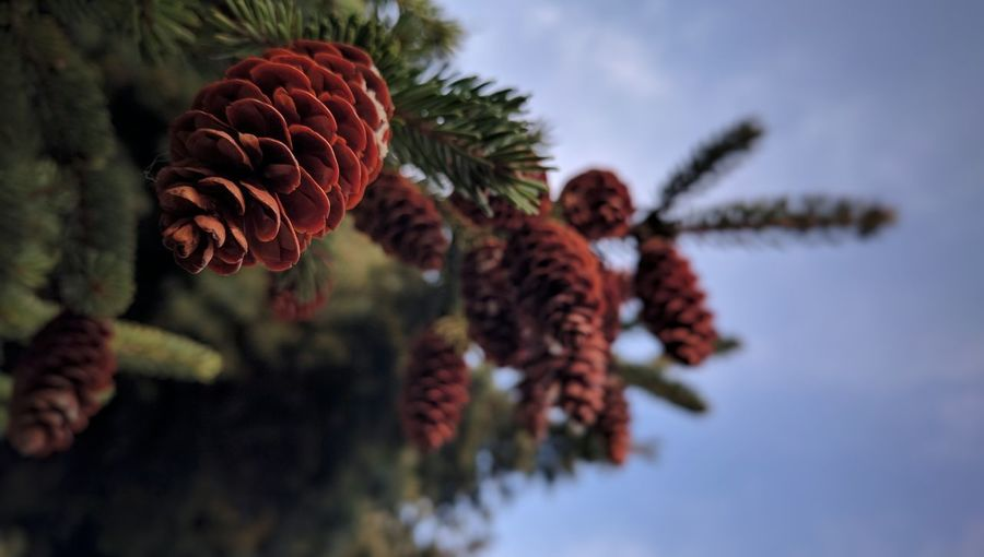Cones Beauty In Nature Nature Photography Nature_collection EyeEm Nature Lover Getting Inspired Capture The Moment My Perspective Taking Photos Eye4photography  Mobile Photography N6p IMography Fresh 3 Eye4photography  Naturelovers Close-up EyeEm Gallery Mobiography Natural Condition