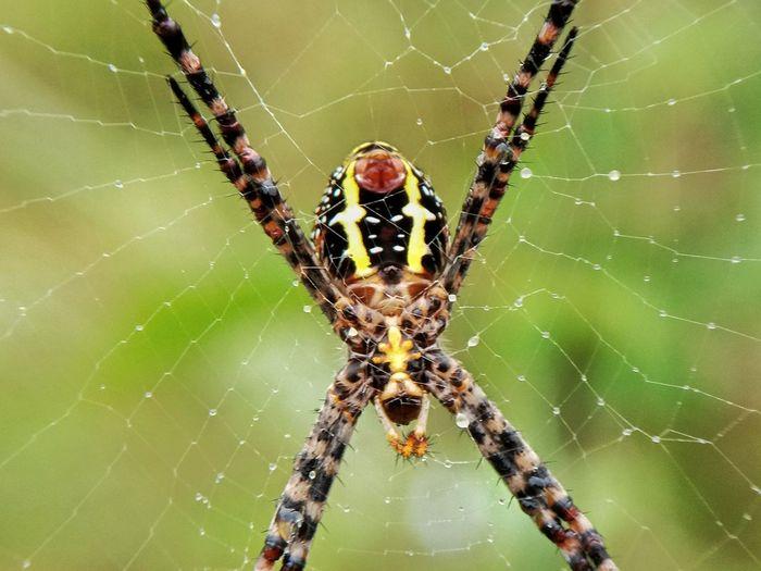 Macro Photography Macro_collection Macro Beauty Macro Nature Animalia Arthropoda Arachinida Araneae Spider Web Abdomen Animal Leg Web Trapped Spider Web Spider Climbing Insect Survival Intricacy
