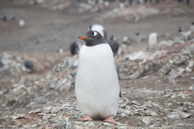 Close-up of penguin standing on field