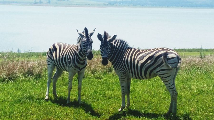 Zebras on grass landscape standing by lakeside