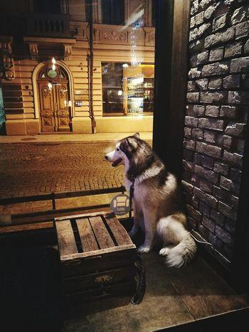 Syberianhusky Bar Lonely Husky First Eyeem Photo
