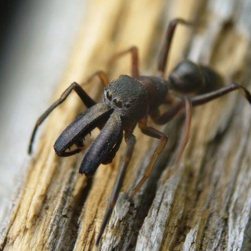 _Myrmarachne japonica_ male Nature Spider