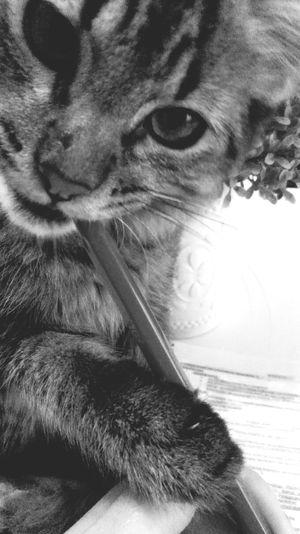 Gato Pets