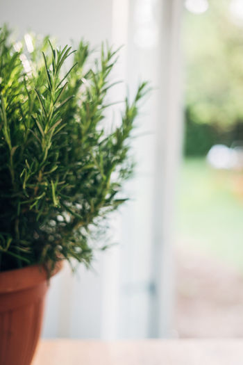 Fresh Rosemary Copy Space Herb Rosemary Close-up Day Focus On Foreground Glass - Material Green Color Growth Houseplant Kitchen Nature No People Plant Plant Part Potted Plant Selective Focus Window