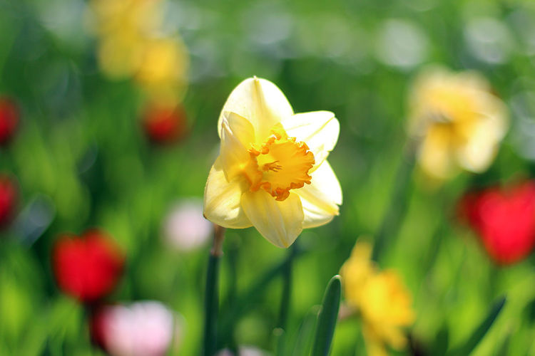 A narcissus. Bright Colors Happiness Sunny Beauty In Nature Blooming Bokeh Bokeh Photography Close-up Colorful Daylight Flower Flower Head Focus On Foreground Fragility Freshness Growth Narcissus Nature Outdoors Petal Selective Focus Srping Summer Sunny Day Yellow