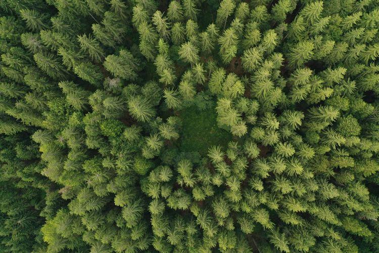 Full frame shot of pine trees