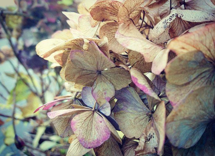 Fading. Flower