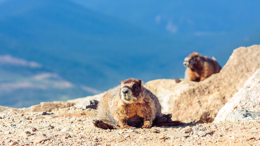 Yellow-bellied marmots on field against sky