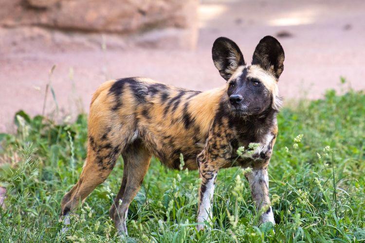 African Wild Dog EyeEm Selects Animal Themes Animal Mammal One Animal Grass Domestic Animals Animal Wildlife Nature