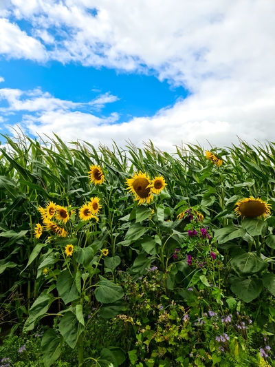 Yellow flowering plant against sky
