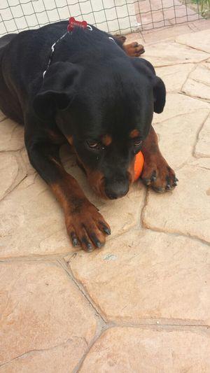 Non toccatemi la mia pallina u.u ! Rottweiler Sonobellissima! { My Lovely RottWeiler }