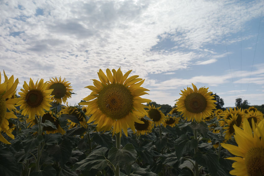 Field of Sunflowers under the sunshine 43 Golden Moments Beauty In Nature Blooming Flower Flowers Flowers,Plants & Garden Fragility Freshness Grainedenature Grainedephotographe Growth Nature No People Plant Seed Seeds Sonnenblume Sonnenblumen Sunflower Sunflowers Tournesol Tournesols Yellow Yellow Flower Eyeemphoto
