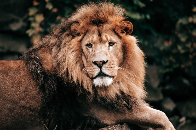 Photo of a lion in an amusement park