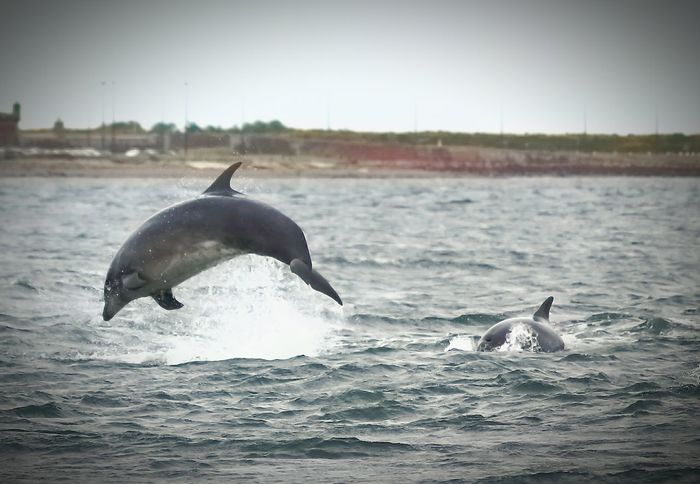 Dolphin Dolphins Swimming Dolphins Playing Dolphins In The Bay Dolphins Close To The Shore Dolphins In The Wild Scotland Scottish Highlands Wildlife & Nature Wildlife Photography Scottish Sea Sea Life Seaside Seashore Outdoors Outdoor Photography Beauty In Nature Dolphin Watching