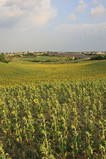 Sunflowers field in Valensole - Provence Agriculture Beauty In Nature Crop  Europe Farm Field Flower Flowers France Freshness Growth Landscape Lavander Nature Plant Provence Rural Scene Scenics Senanque Sky Sun Tranquil Scene Tranquility Valensole Yellow