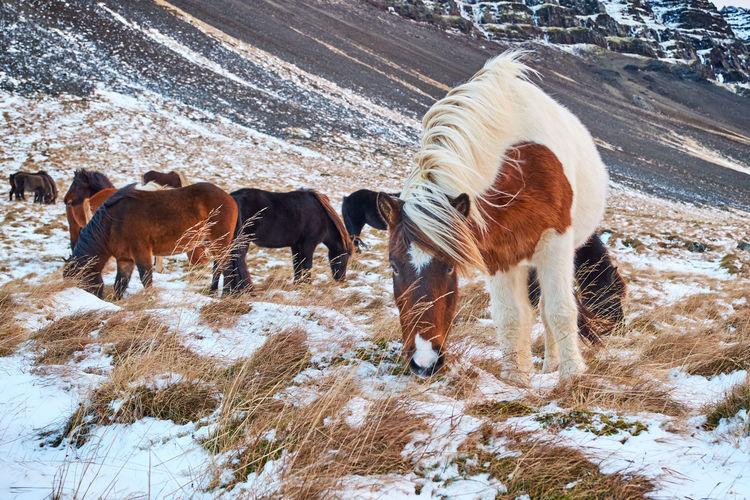 Icelandic horses, grundarfjordur iceland
