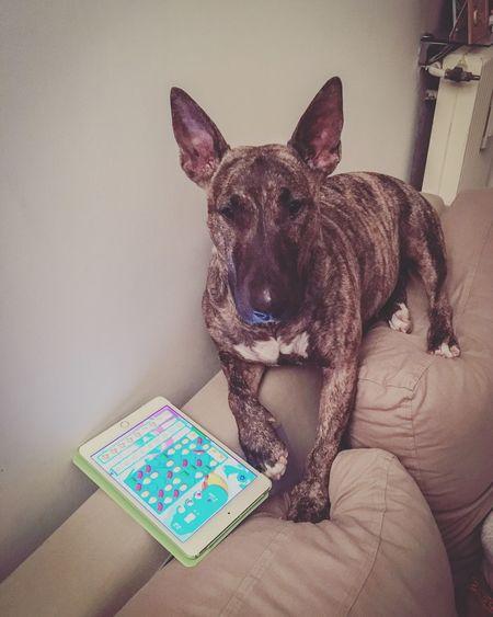 Bullterrier Candycrushaddict SOFA TIME Dogslife Mydogsarecoolerthanyourkids Bullterrier Love Dog Dogs
