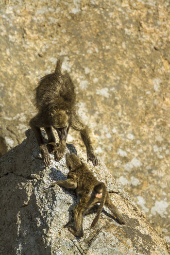 High angle view of monkey on rock