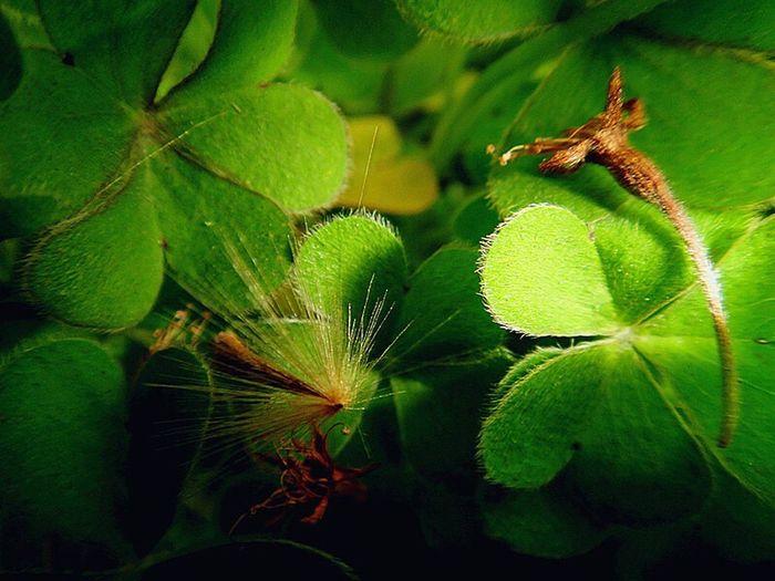蒲公英的太阳浴 dendelion is sunbathing 🌞 First Eyeem Photo Dendelion Clover Plants Sonyphotography Close-up